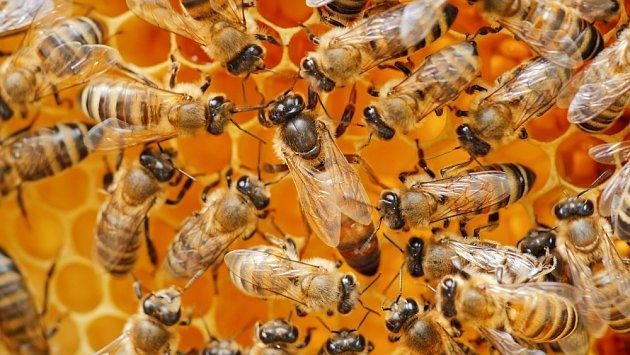 Potravou včelí královny je mateří kašička