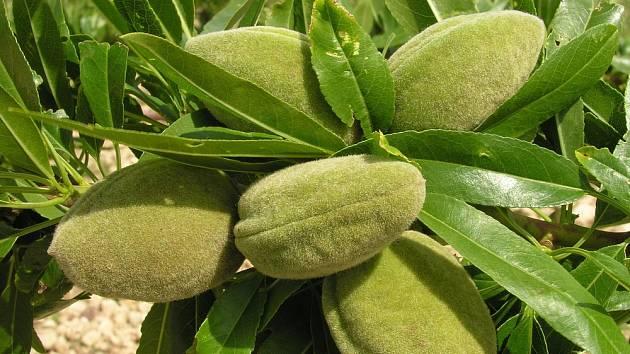Mandloň s dozrávajícími plody.