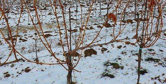 Révové keře před zimním řezem