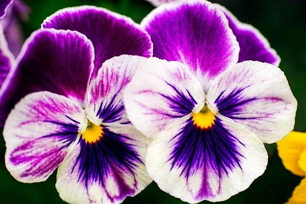 S pěstováním macešek začínejte včervnu, květů se dočkáte na podzim a znovu další rok na jaře