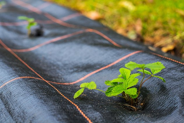 Proti plevelu v jahodovém záhonu pomůže netkaná textilie.