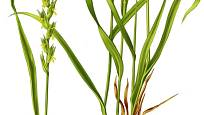 Oddenky pýru jsou velmi dlouhé a raší z nich další nové rostliny
