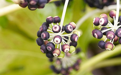 semena - Fatsia japonica