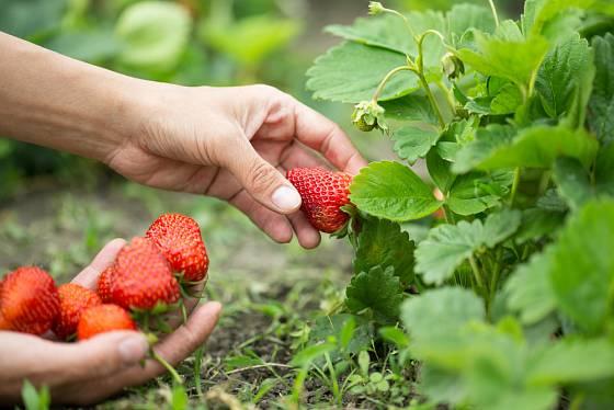 Jahody dozrávají postupně - záleží na odrůdě i na péči