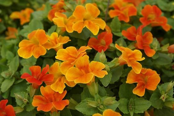torénie (Torenia), odrůda Orange Spicy