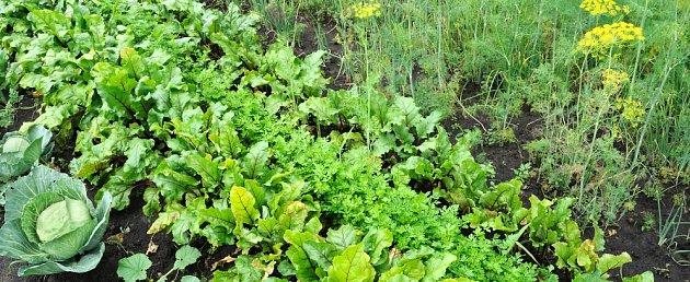 Kopr dodá salátu příjemnou vůni