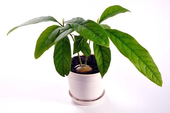 Když má semenáč avokáda dostatek světla, vytvoří sytě zelené listy