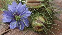Černucha - květ a tobolka.