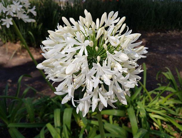 Detail bíle kvetoucího kalokvětu.