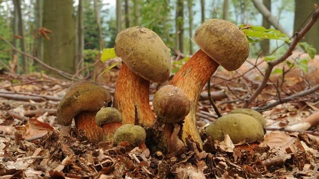 Hřib koloděj roste jen pod listnatými stromy.