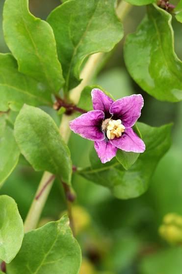 Květ kustovnice čínské je drobný s pěti okvětními lístky ve fialové barvě.