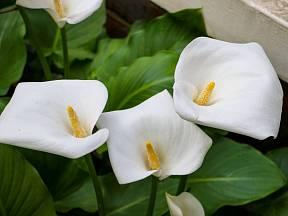 Kala je mimořádně krásnou květinou a oblíbenou pokojovkou