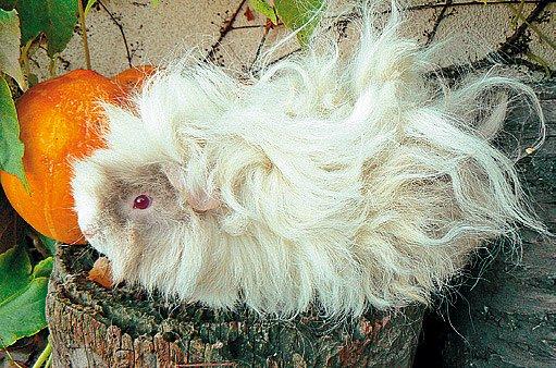 Lunkarie - dlouhosrsté morče