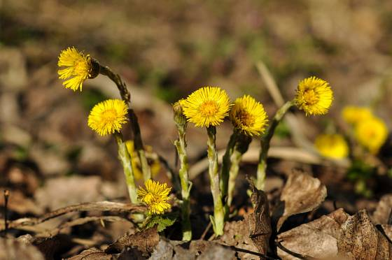 Podběl lékařský patří k časně kvetoucím jarním bylinám.
