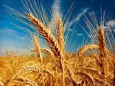 Dozrávající pšenice na poli.