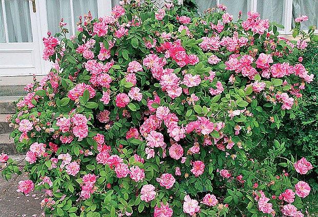 "Rosa gallica ""Versicolor"""