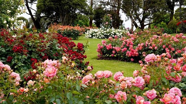 Čím vylepšit barvu růží?