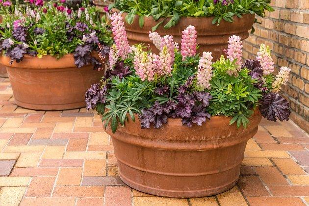 Vlčí bob můžete pěstovat i v květnících.
