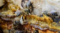 Včely využívají propolis k utěsnění štěrbin