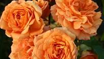 mnohokvětá růže, odrůda Pálava