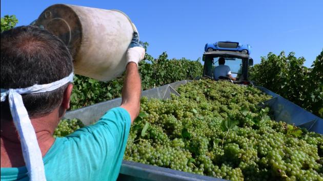 Svatomartinská vína - sběr hroznů v Habánských sklepích