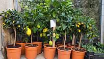 citrusy lze pěstovat i doma v květináči