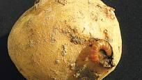 larva kovaříka - drátovec