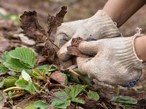 Z jahodníků opatrně odstraníme suché listy.