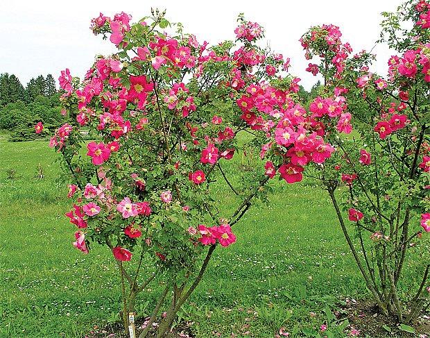 Sadová růže ´Frühlingstag´ (Knirps, 1949, SRN)