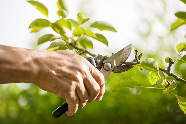 Protože se během července větve ovocných stromů značně rozrůstají, nezapomeňte na jejich letní řez.