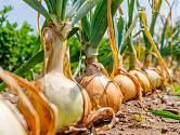Antraknóza, jak se krčková hniloba cibule jmenuje odborně, se šíří pomocí infikovaných sazeček a přetrvává nenápadně v rostlinách po celou dobu růstu.