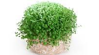 Soleirolia, něžná pokojová rostlina