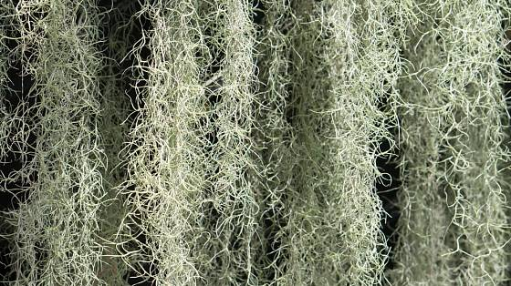 Tilandsie (Tillandsia usneoides) známá jako španělský mech.