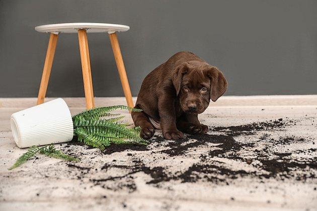 Pokud necháme štěně dlouho samotné, může si hledat vlastní zábavu.