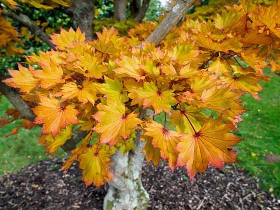 japonský javor, Acer shirasawanum