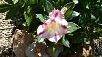Kvetoucí pouštní růže (Adenium).