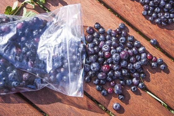 Čerstvě sklizené plody zahradních borůvek můžeme i zamrazit.