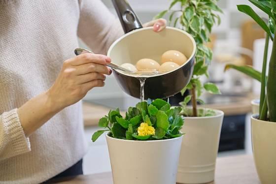 Jako hnojivo k pokojovým květinám využijeme vodu z vařených vajec i droždí.