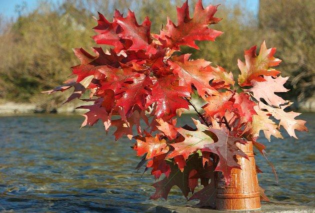 K podzimnímu aranžmá se skvěle hodí listy dubu červeného.