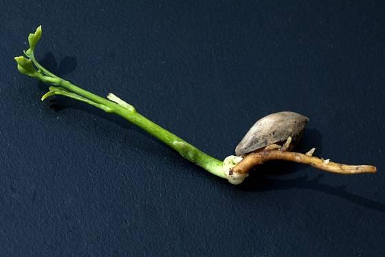 K rostlinám, jejichž semena potřebují stratifikaci, patří jinan dvoulaločný.