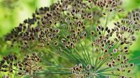 Dozrávající semena kopru.