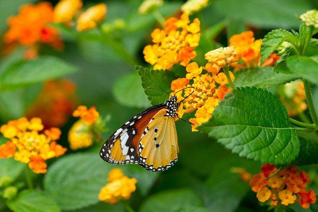 Lantana svou vůní láká motýly.