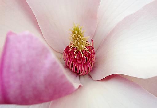 detail květu magnolie