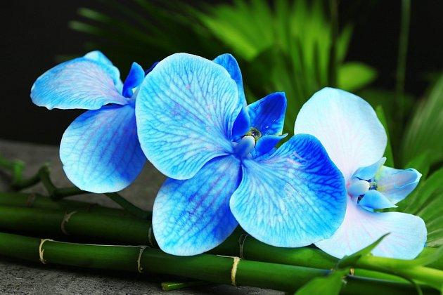 modrá orchidej