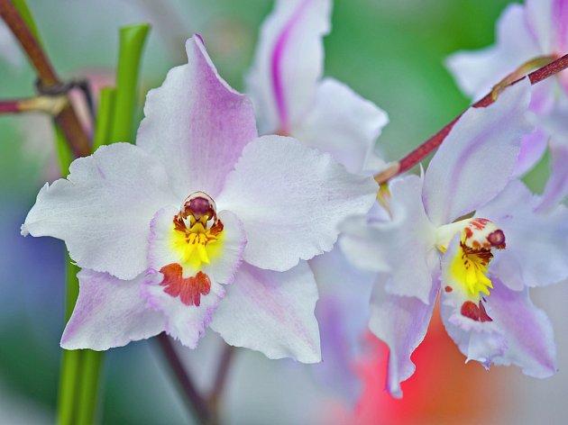 Odontioda - uměle vytvořená orchidej