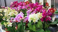 Na výběr je mnoho kultivarů můrovce odlišných barev i velikostí