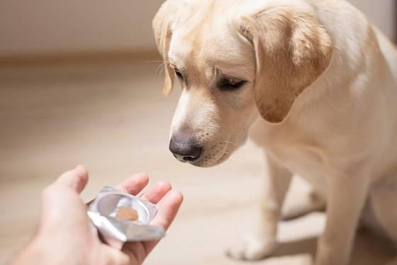Antihelmintika musíme obvykle zabalit do paštiky nebo jiné pochoutky, aby je psi polkli