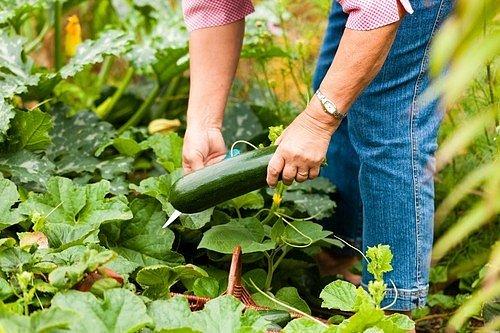 Cucurbitacein, která vyvolává nejen hořkost plodů, ale i stonků a listů.