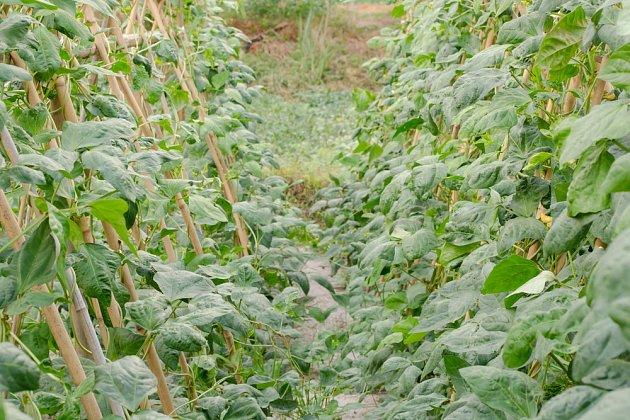 Fazole se rovněž sázejí do řádků, a dusík, jenž uvolňují, brání kořeným maliníku v rozpínání