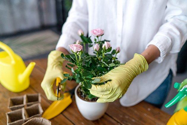 Udělejte si řízek růže o délce 10 cm, namočte konec do medu a zapíchněte jej do brambory, v které jste předem udělali otvor nožem.